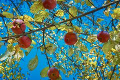 Dojrzali czerwoni jabłka na drzewie zdjęcia stock