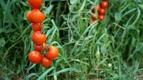 Dojrzali czerwoni pomidory wiesza na zielonym ulistnienia tle, wiesza na pomidorowym krzaku w ogródzie zdjęcie wideo