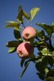 Dojrzali jabłka na jabłoni Fotografia Royalty Free