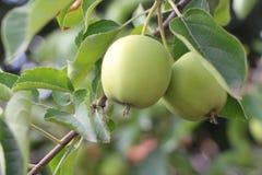 Dojrzali jabłka na jabłoniach zielony kolor obrazy stock