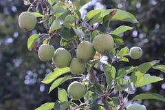 Dojrzali jabłka na jabłoniach zielony kolor fotografia stock