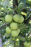 dojrzali jabłka w sadzie przygotowywającym dla harvestng, płytki dof Obraz Royalty Free
