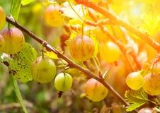 Dojrzali jagodowi agresty na gałąź w lecie Zdjęcie Stock