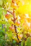 Dojrzali jagodowi agresty na gałąź w lecie Obraz Royalty Free