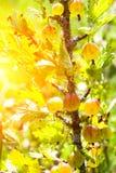 Dojrzali jagodowi agresty na gałąź w lecie Obraz Stock
