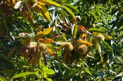 Dojrzali jeże wciąż zamykali na cisawym drzewie fotografia royalty free