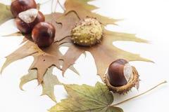 Dojrzali kasztany i jesień liście odizolowywający na białym tle, zamykają up Obraz Royalty Free