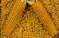 Dojrzali kukurydzani cobs na łóżku nasiona Obraz Royalty Free
