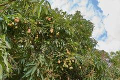 Dojrzali mango na drzewie Wiązka świezi mango wiesza od drzewa zdjęcie royalty free