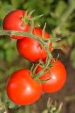 dojrzali ogrodowi pomidory przygotowywający dla podnosić Zdjęcia Royalty Free