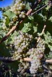 Dojrzali Organicznie Chardonnay winogrona zdjęcie royalty free