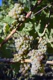 Dojrzali Organicznie Chardonnay winogrona Fotografia Royalty Free