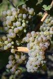 Dojrzali Organicznie Chardonnay winogrona Zdjęcia Stock