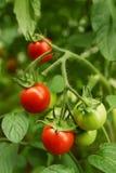 Dojrzali organicznie pomidory Zdjęcia Royalty Free