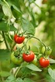 Dojrzali organicznie pomidory Fotografia Stock