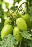 Dojrzali organicznie pomidory Zdjęcie Stock