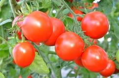 Dojrzali pomidory przygotowywający podnosić Fotografia Stock