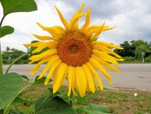Dojrzali słoneczniki na tle niebieskie niebo Obraz Royalty Free