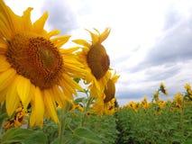 Dojrzali słoneczniki na tle niebieskie niebo Zdjęcie Stock