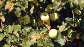 Dojrzali soczyści jabłka na gałąź zbiory