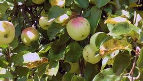 Dojrzali soczyści jabłka na gałąź zbiory wideo