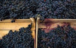 Dojrzali, soczyści winogrona w pudełkach, Zdjęcia Royalty Free