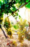 Dojrzali win winogrona na gronowych wino roślinach w złotym świetle słonecznym fotografia stock