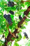 Dojrzali winogrady Obraz Stock