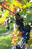Dojrzali winogrona Zdjęcie Stock