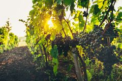 Dojrzali winogrona Na winnicy Przy wschodem słońca Agritourism Wiejski pojęcie Zdjęcia Stock