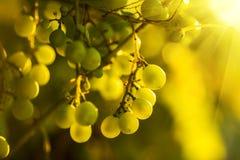 Dojrzali winogrona na winogradzie z jaskrawym słońca jaśnieniem przez zieleni obraz royalty free