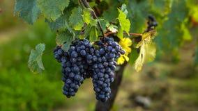 Dojrzali winogrona przed żniwem, bordowie, Francja Zdjęcie Royalty Free