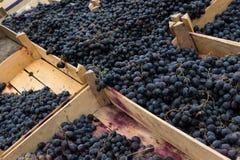 Dojrzali winogrona w drewnianych pudełkach Zdjęcie Royalty Free
