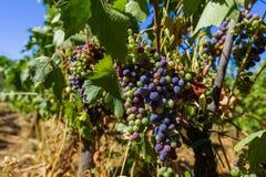 Dojrzali winogrona w Tuscany Włochy obraz stock
