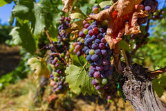 Dojrzali winogrona w Tuscany Włochy obrazy stock