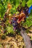 Dojrzali winogrona w Tuscany Włochy Zdjęcie Stock