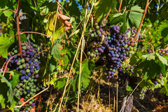 Dojrzali winogrona w Tuscany Włochy Zdjęcie Royalty Free
