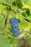 Dojrzali winogrona w zielonym ulistnieniu fotografia stock