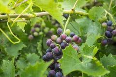 Dojrzali winogrona z liśćmi w ogródzie Obrazy Stock