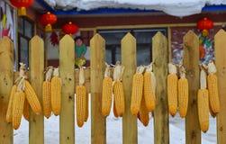 Dojrzali wysuszeni kukurydzani cobs wiesza na ścianie obraz stock