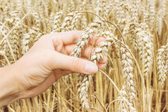 Dojrzali złoci pszeniczni ucho w ona ręka rolnik Zdjęcia Stock