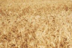 Dojrzali złoci ucho banatka groszkują w polach Saratov region Rolnictwo Zdjęcia Royalty Free
