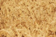 Dojrzali złoci ucho banatka groszkują w polach Saratov region Rolnictwo Zdjęcie Stock