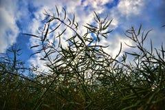 Dojrzali ziarna gwałt Pole zielony dojrzałości oilseed gwałt odizolowywający na chmurnym niebieskim niebie w lato czasie (Brassic Obrazy Royalty Free