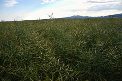 Dojrzali ziarna gwałt Pole zielony dojrzałości oilseed gwałt odizolowywający na chmurnym niebieskim niebie w lato czasie (Brassic Zdjęcie Stock