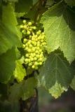 Dojrzeń winogrona na winogradzie zdjęcie stock
