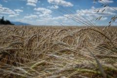 Dojrzenie żółci jęczmienni ucho na polu przy lato czasem Złoci jęczmienni Hordeum vulgare spikelets z błękitnym chmurnego nieba t Obraz Stock