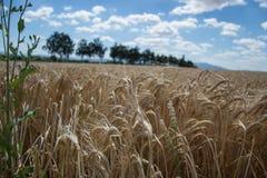 Dojrzenie żółci jęczmienni ucho na polu przy lato czasem Złoci jęczmienni Hordeum vulgare spikelets z błękitnym chmurnego nieba t Obrazy Stock