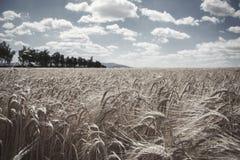 Dojrzenie żółci jęczmienni ucho na polu przy lato czasem Złoci jęczmienni Hordeum vulgare spikelets z błękitnym chmurnego nieba t Zdjęcia Stock