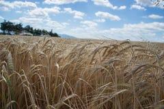 Dojrzenie żółci jęczmienni ucho na polu przy lato czasem Złoci jęczmienni Hordeum vulgare spikelets z błękitnym chmurnego nieba t Zdjęcie Stock